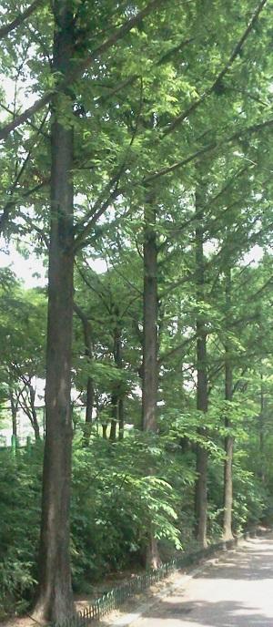 Ilsan_redwoods1_300